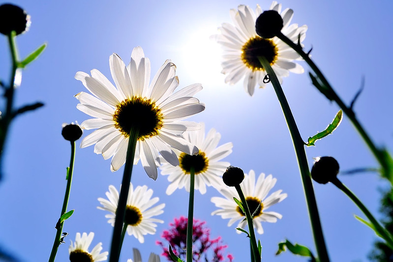 daisies reaching up to sun